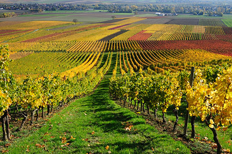 Rhine Valley Vineyard
