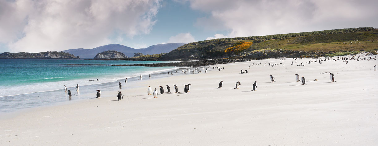 Gentoo penguins on the beach in West Point, Falklands