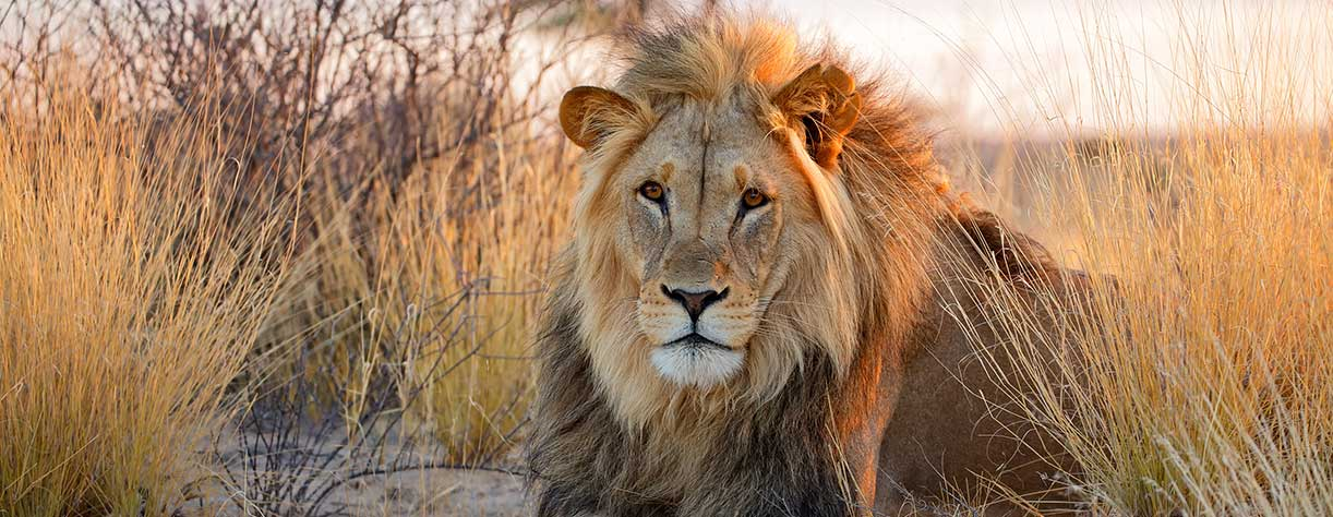 Male lion in South Africa