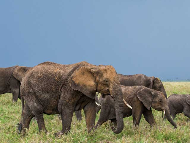 Elephants in the Serengeti National Park, Tanzania