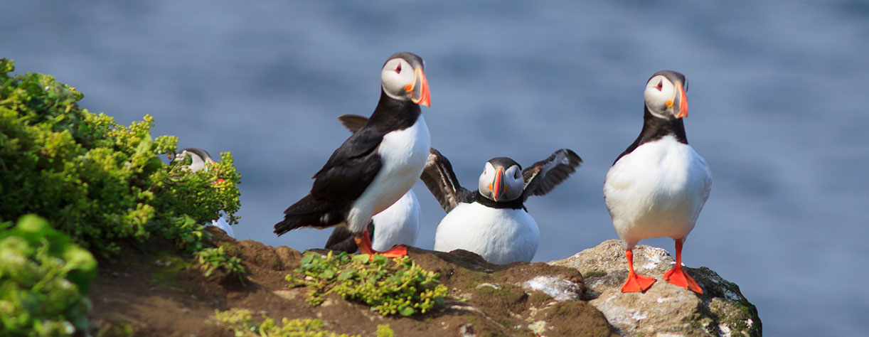 Atlantic Puffin on cliff top in Grimsey, Iceland