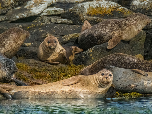 Harbor Seal colony, Sound of Raasay, UK