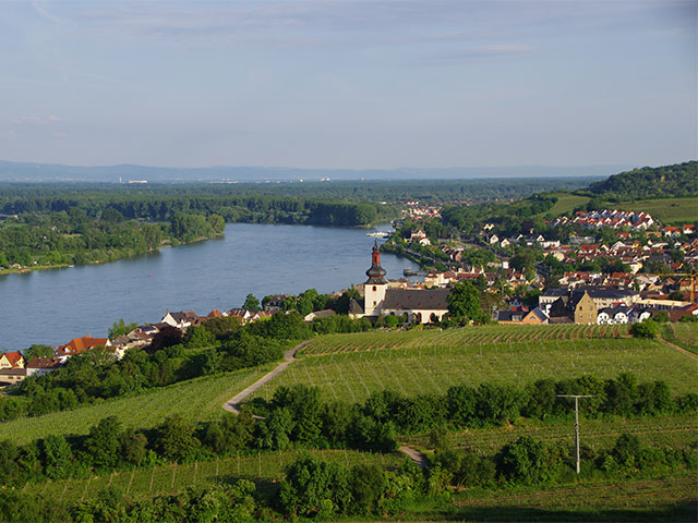 Vineyard on the bank of river Rhine in Nierstein, Germany.