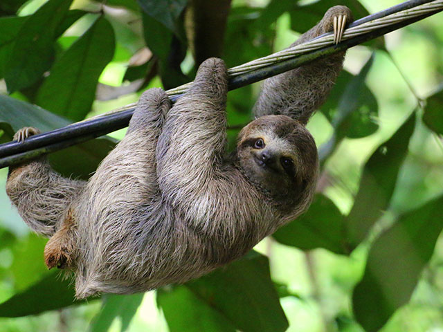Hanging Sloth in the trees of Costa Rica