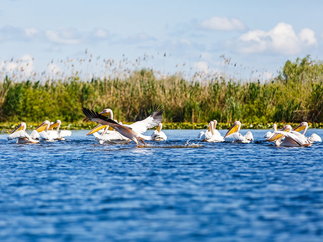 Flock of white pelicans in the Danube Delta