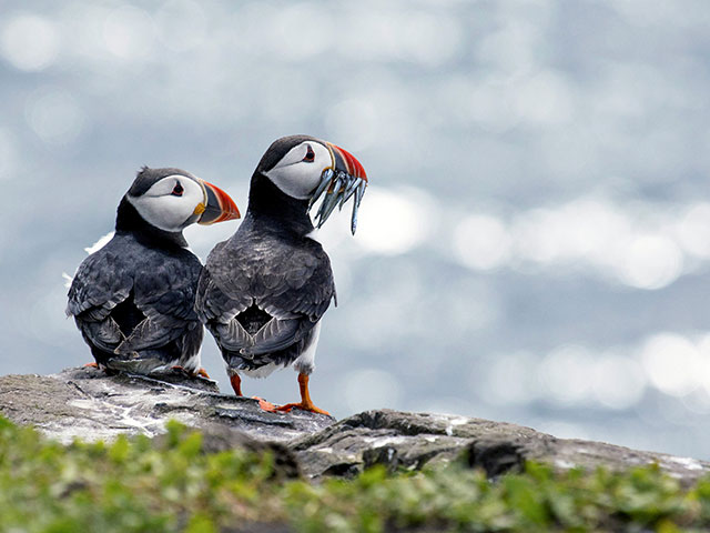 Puffins on the sea cliff, Iceland